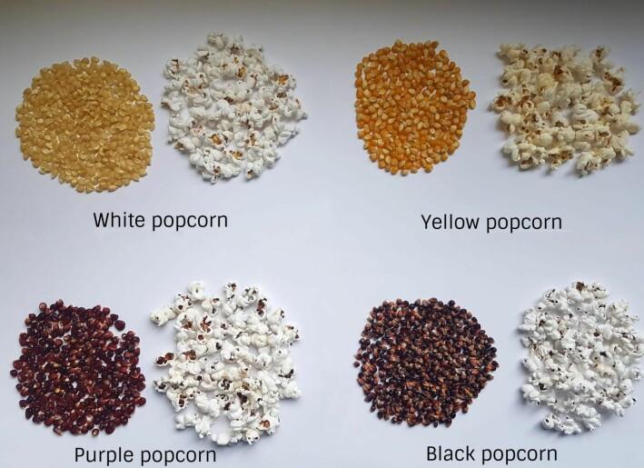Forskerne i studien undersøkte popkorn av 49 forskjellige typer - i fire forskjellige farger. De fleste av oss kjenner best til den gule øverst til høyre.