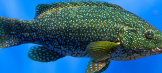 Forskere trener opp fisk til å spise mer lakselus