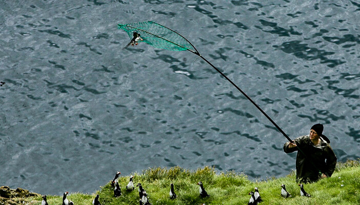 Puffin hunting in the the Westman Islands.