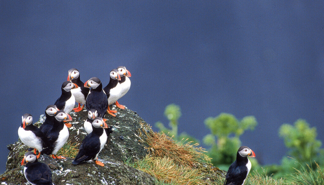Puffins in the the Westman Islands.