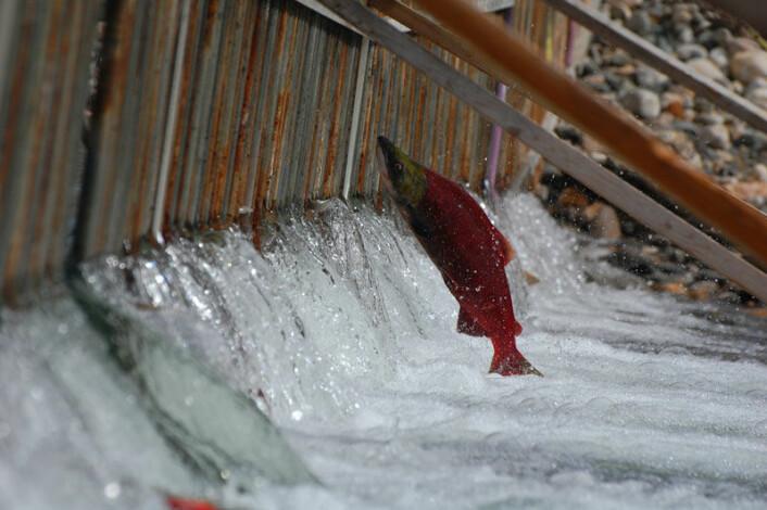 Sockeye-laks venter på å komme opp elva. Ny studie fra Canada viser at ulike bestander av denne laksen i samme vassdrag har høy grad av spesialisering i forhold til sitt miljø. (Foto: Matt Casselman)