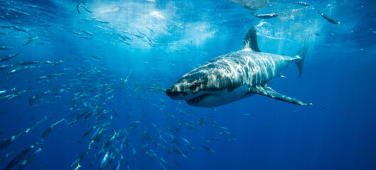 For 19 millioner år siden holdt haiene på å dø ut