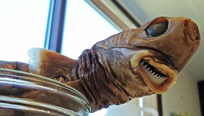 Et bevart eksemplar av sigarhaien. Den lever mer enn 3000 meter under havet, men svømmer ofte opp til grunnere vann.