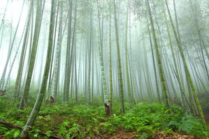 Skogareal i Asia vokser takket være massiv skogplanting i land som Kina og Vietnam, melder ny FN-rapport. (Illustrasjonsfoto: iStockphoto)