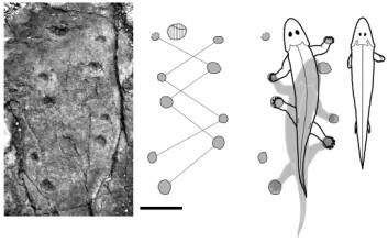 De nyoppdagede fotsporene forteller forskerne at tetrapoden satte sine fotavtrykk i bakken for rundt 395 millikoner år siden. Sporstørrelsen på dette bildet antyder et dyr som var 40-50 centimeter langt. Skala:10 cm. (Illustrasjon: Per Ahlberg et al.)