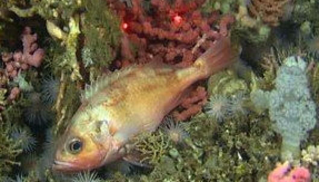 Langs norskekysten finnes de største og tetteste kjente forekomstene av kaldtvannskorallrev. (Foto: MAREANO, Havforskningsinstituttet)