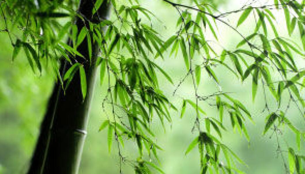 Bambus. skog (Foto: iStockphoto)