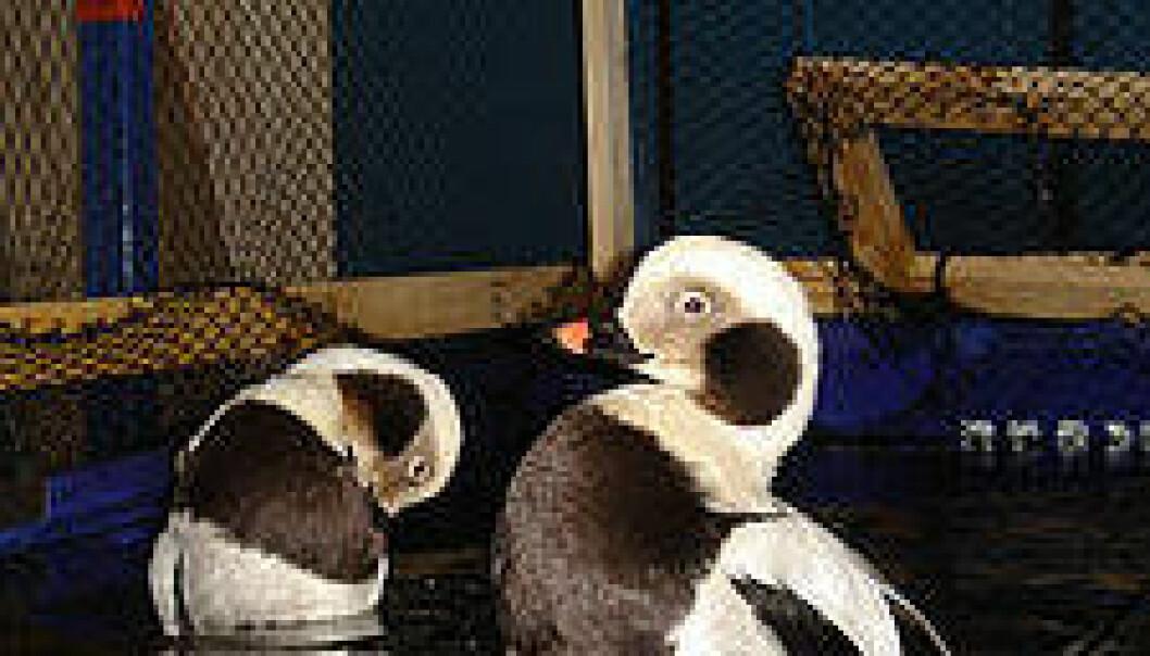 Havelle var en av de mange sjøfugl artene som ble påvirket av oljesølet. Her er to på fuglemottaket. (Foto: WWF-Norge / Nina Jensen)