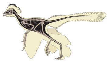 Skjelett og betydelig fjærprakt hos Anchiornis huxleyi. (Foto: Dongyu Hu, et al.)