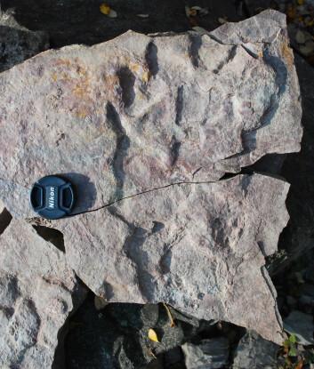 Stort fotavtrykk etter et tetrapod som forskerne antar at var 2,5 meter lang. (Foto: Piotr Szrek)