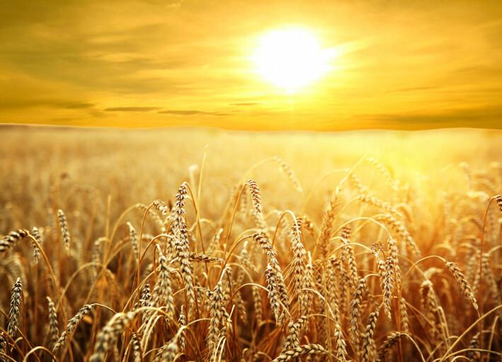 Nedkjøling var den største driveren for økning i avlingene, unntatt for hvete og ris, som ikke er så følsomme for høyere temperatur.