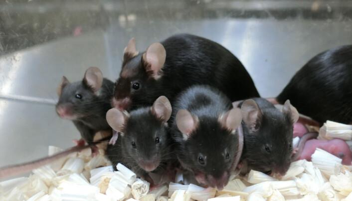 Disse musene kommer altså fra sæd som har vært oppe på den internasjonale romstasjonen i nesten seks år. Neste generasjon var heller ikke unormale.