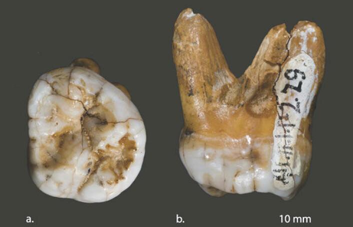 Tann funnet i Denisova-hulen i Sibir. Forskere mener den tilhører en ny og inntil ganske nylig ukjent menneskeart som levde samtidig med neandertalerne - men var markert forskjellig fra dem. Bildet viser tannen sett fra to vinkler (a og b). (Foto: David Reich et al, Nature)