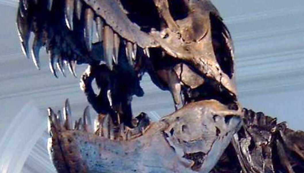 Tyrannosaurus Rex, i Manchester Museum (Foto: Billlion, Wikimedia, se lisens)