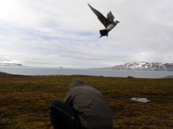Tyvjoen er merket og slippes løs i Kongsfjorden på Svalbard. Neste år håper forskerne at fuglen er tilbake slik at de kan samle inn loggerne og finne ut hvor fuglen har vært. (Foto: Sveinn Are Hanssen, NINA)