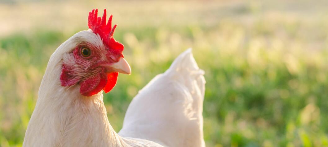 Forskere tror kyllinger var hellige før. Da fikk de leve lenger