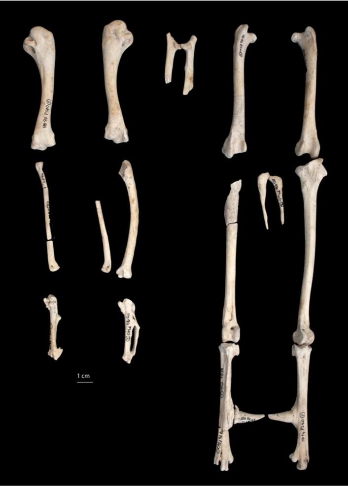 Dette er ikke bare bein. De er to tusen år gamle! Denne fuglen skal ha blitt minst to år gammel.