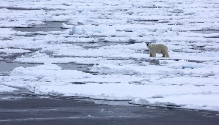 Møte med isbjørn, trygt på avstand ombord på skipet.