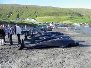 På Færøyene er hvalkjøtt en populær rett. Hvalspekk inneholder imidlertid høye konsentrasjoner av PCB. Derfor har forskerne valgt å gjennomføre studien her. (Foto: Wikimedia Commons)