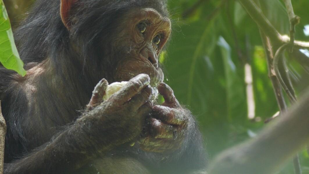 En sjimpanse spiser en mango i et tre.