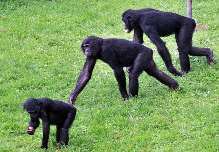 Bonobo-aper leker i en dyrehage i Belgia.