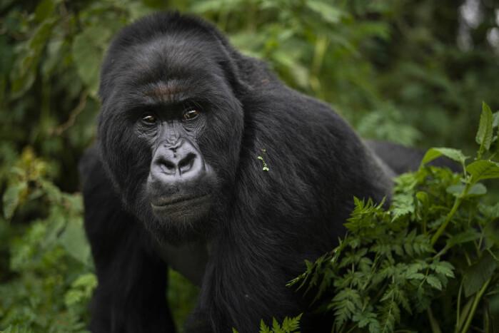 Også gorillaene er truet. Her er en gorilla i en nasjonalpark i Rwanda.