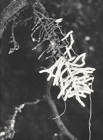Ektomykorrhiza hos en rotgren fra furu.