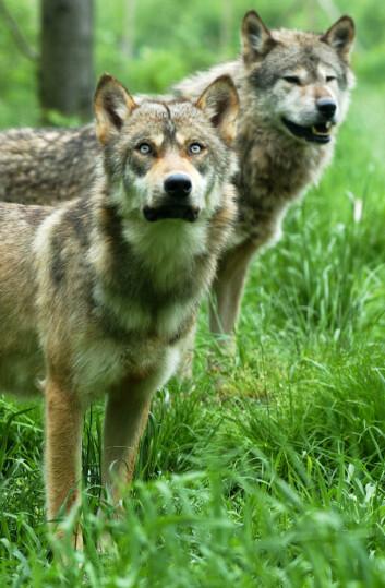 """""""Det er ikke mange av dagens hunderaser som hadde følt seg trygge sammen med ulveforfedrene sine. (Illustrasjonsfoto: www.colourbox.no)"""""""