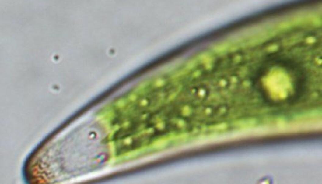 Denne algen kan lære forskerne å sortere radioaktivt stoff. (Foto: Wiley-VCH)