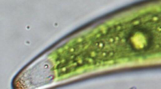 Alge kan sortere radioaktivt stoff