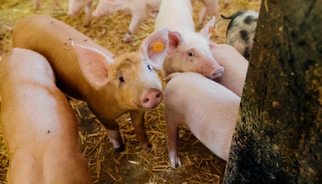 Forbrukerne har tillit til norsk matproduksjon, men mange sier at de vet for lite om velferden til dyr som skal bli mat. Blant annet mener hele syv av ti at gris bør beskyttes bedre.