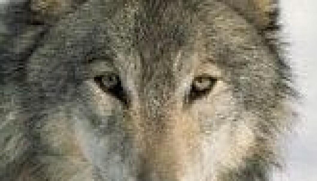 For eller mot – alle liker ulven
