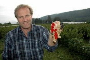 -Økologiske rips, solbær og stikkelsbær egner seg godt til friskkonsum, mener Morten Utengen ved Bærgården i Lier.