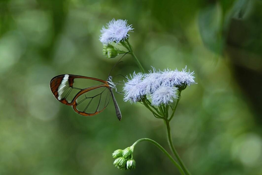 Ser det ut som denne sommerfuglen har hull tvers gjennom vingene? Neida - den er bare gjennomsiktig!