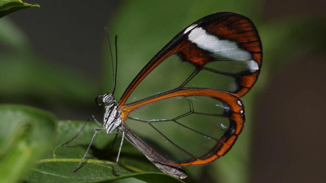 Denne sommerfuglen har gjennomsiktige vinger