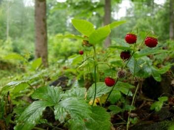 Hele væla er bære jordbær, finn et strå og træ dom på. (Illustrasjonsfoto: www.colourbox.no)