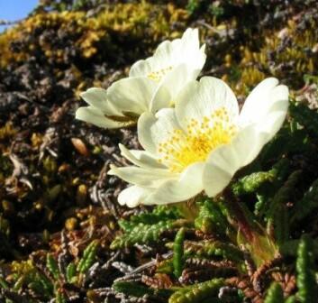 Tidsperiodene Yngre og Eldre Dryas er oppkalt etter fjellblomsten reinrose, som trivdes i denne perioden. (Foto: Michael Haferkamp, Wikimedia Commons)