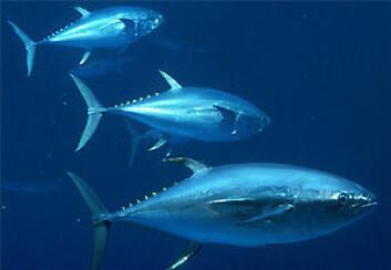 """""""Tunfisken er en av matfiskene som kan få truet sitt næringsgrunnlag dersom planktonet blir borte. (Foto: U.S. National Oceanic and Atmospheric Administration/WikimediaCommons)"""""""