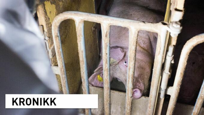 Dyrevernskandaler: Hvem stoler vi på at forteller sannheten om dyrevelferd i norsk husdyrproduksjon?