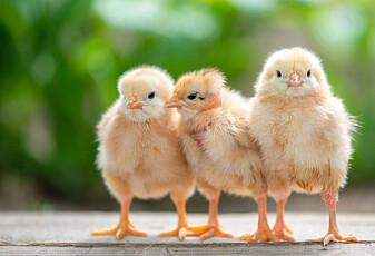 Unge er mye mer bekymret for dyrene vi spiser