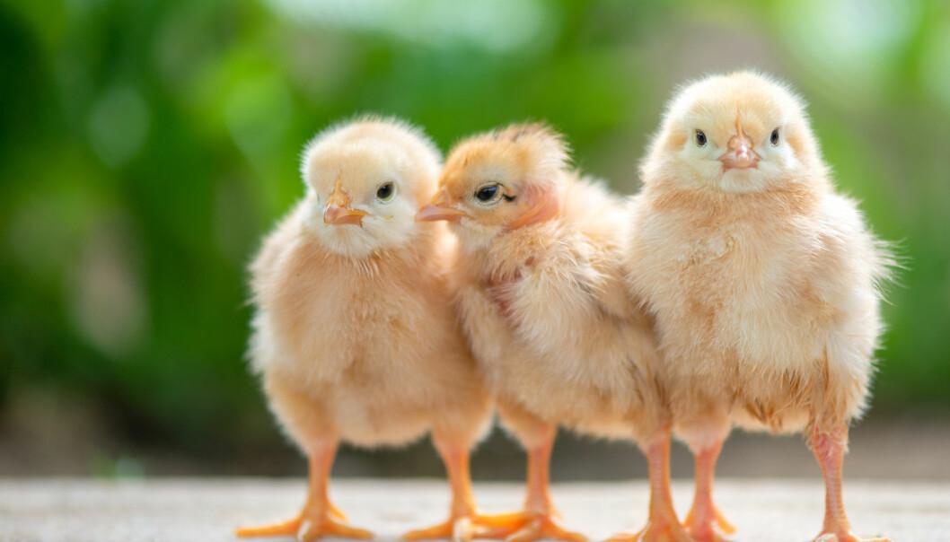 Kyllingkjøtt er noe mange spiser til middag. Mange mener at vi bør beskytte kyllingene våre bedre.