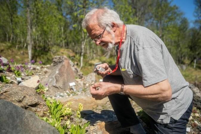 Professor Arve Elvebakk studerer hagenøkleblom nøye. Slik oppdaget han mange nye arter.
