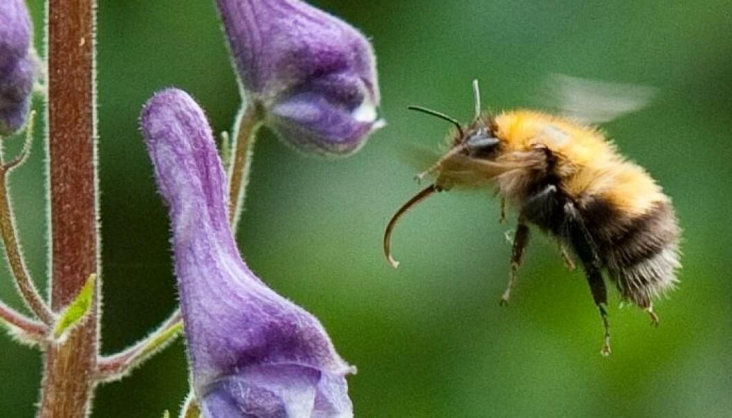 Humlene har tilpasset tungelengden til plantene de henter nektar fra. Dette er lushatthumle som nesten utelukkende besøker tyrihjelm (lushatt). (Foto: Arnstein Staverløkk, NINA)