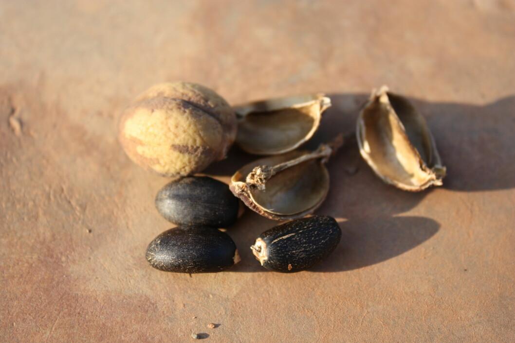 Jatropha-fruktene inneholder svært oljerike nøtter. (Foto: Wikipedia Commons)