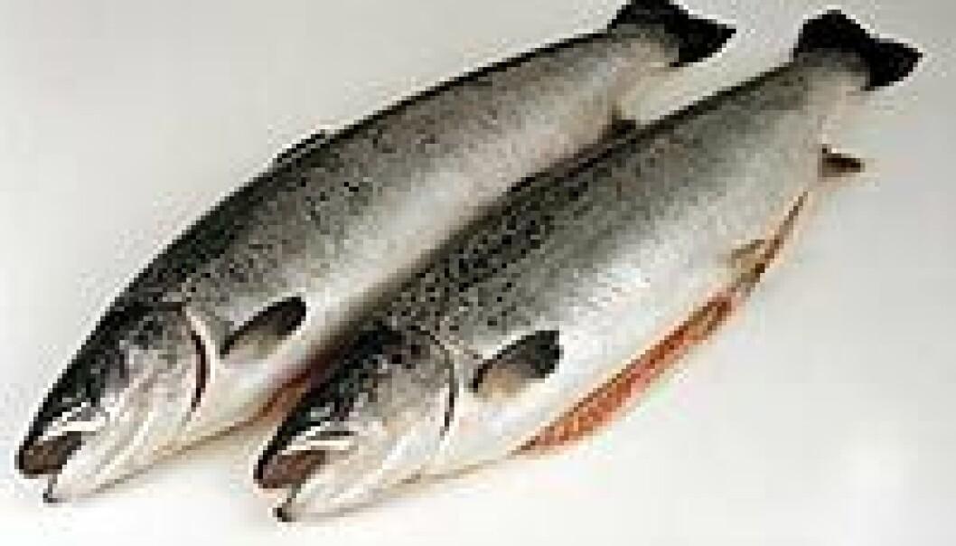 """""""Med en ny metode kan man på kun tre dager finne ut om fisken er smittet med IPN-viruset."""""""