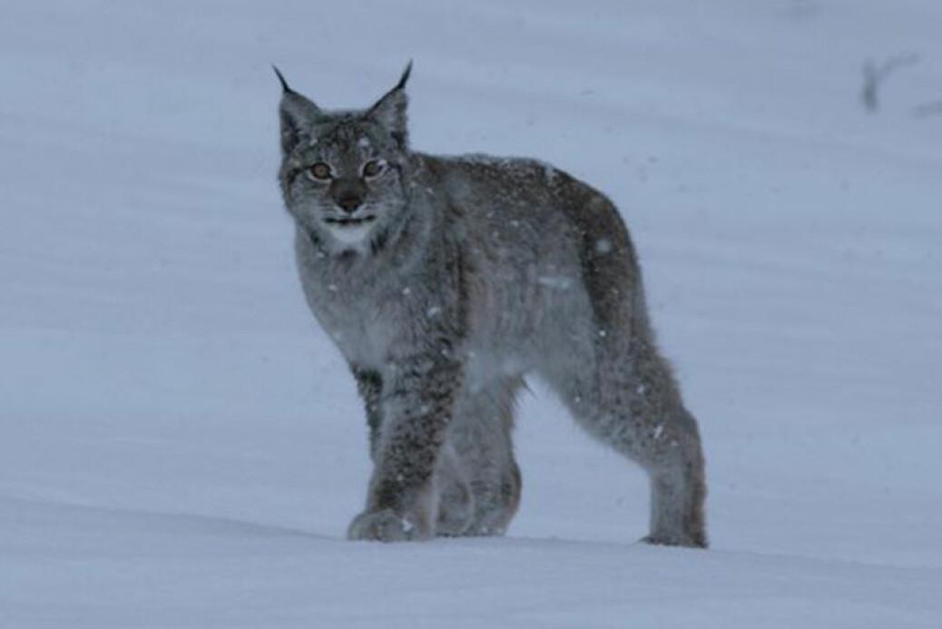 – Gaupene nord i Norge har de største leveområdene som noen gang er registrert hos noe kattedyr, forteller Jenny Mattisson.