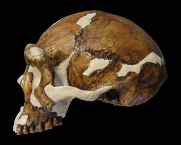 Homo erecticus, Zhoukoudian. (Foto: Russell L. Ciochon, Univ. of Iowa. Kan ikke brukes på nytt.