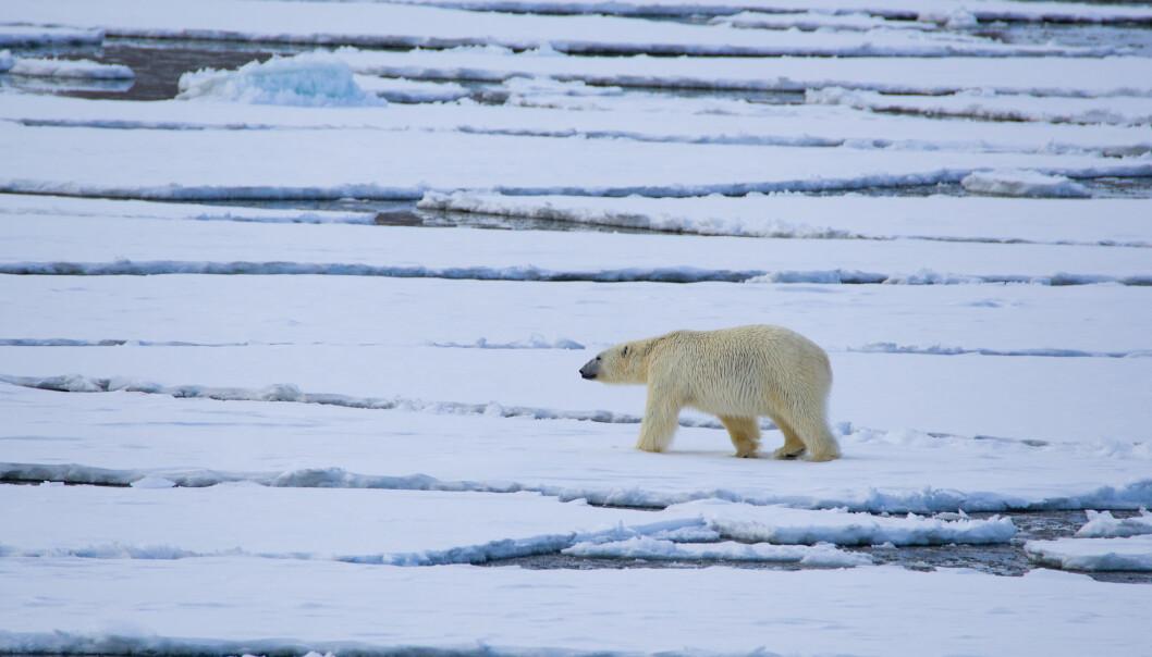 Det ligger gytefelt og viktige økosystemer i mange av Norges havområder, men iskantsonen er blant de mest omstridte. Her en isbjørn på isen utenfor Svalbard.