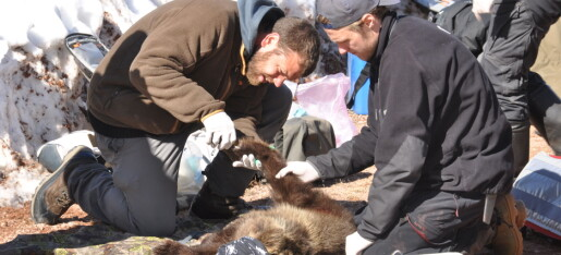 Alle bjørnene var fulle av bly
