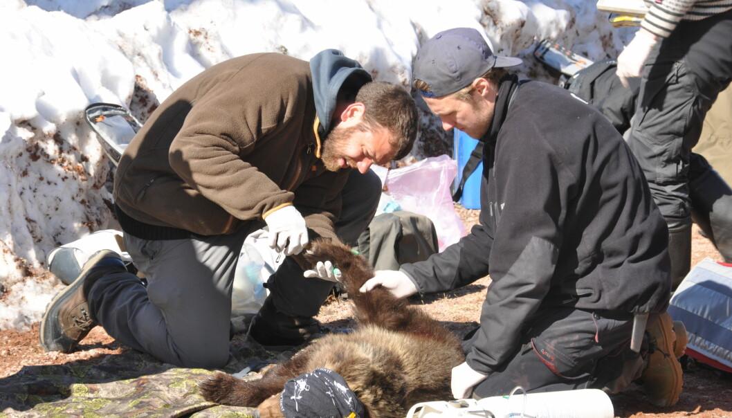 Boris Fuchs (t.v) i dyp konsentrasjon under blodprøvetaking i arbeidet med å kartlegge blynivåene i bjørn.